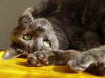 Симпатичная Европейская короткошерстная кошка