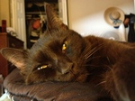 Симпатичная кошка породы Гавана