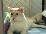 Милая Яванская кошка