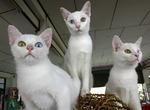 Симпатичные котята Као Мани