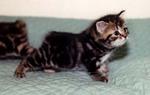Симпатичный котенок Манкс