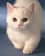 Симпатичная морда кота породы Наполеон