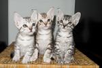 Милые котята породы Оцикот