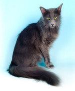 Симпатичный кот породы длинношерстный Ориентал