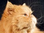 Симпатичный Персидский кот