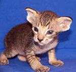 Симпатичный котенок породы Петерболд