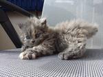 Симпатичный котенок породы Селкирк рекс