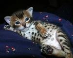 Симпатичный котенок породы Серенгети
