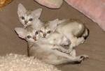 Симпатичные котята породы Сингапура