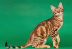 Милый кот породы Сококе