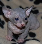 Симпатичный котенок породы Сфинкс