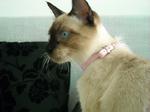 Симпатичная Тайская кошка