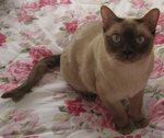 Симпатичная Тонкинская кошка