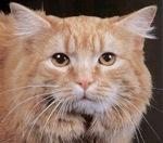 Морда кота породы Кимрик