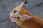 Морда Кипрской кошки