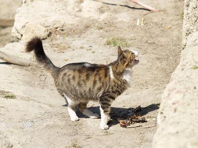 Кипрская кошка фото