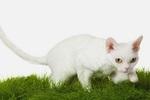 Девон-рекс на траве