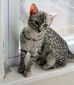 Котенок Египетского Мау