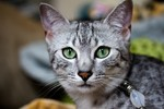 Египетский Мау с зелеными глазами