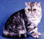 Экзотическая короткошерстная кошка на синем фоне