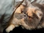 Морда Экзотической короткошерстной кошки