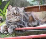 Экзотическая короткошерстная кошка во дворе