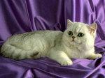 Портрет котенка Экзотической короткошерстной кошки