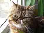 Экзотическая короткошерстная кошка возле окна
