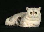 Портрет Экзотической короткошерстной кошки