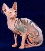 Необычный кот породы Сфинкс