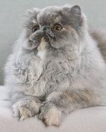 Пушистый Персидский кот