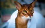 Смешная Абиссинская кошка