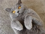 Смешная Британская короткошерстная кошка