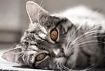 Забавная Европейская короткошерстная кошка