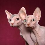 Смешные коты породы Минскин