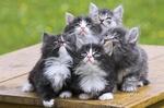 Смешные котята Норвежской лесной кошки