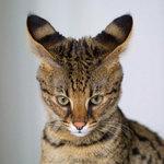 Смешной кот Саванна