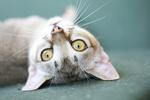 Забавный кот породы Сингапура