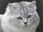 Морда кота Хайлендер