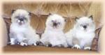 Котята Персидского колор-поинта