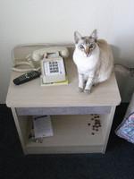Яванская кошка на тумбочке