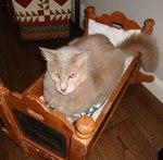 Яванская кошка в колыбели