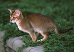 Абиссинская кошка прыгает