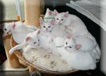 Котята Као Мани в корзине