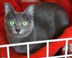 Доброжелательный кот породы Корат
