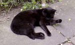 Кошка породы Корн Джа