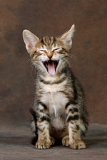 Смеющийся котенок породы Сококе