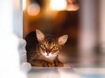 Прелестная Абиссинская кошка