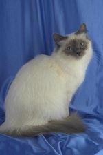 Красивая Бирманская кошка