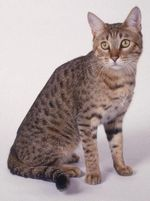 Симпатичная Калифорнийская сияющая кошка